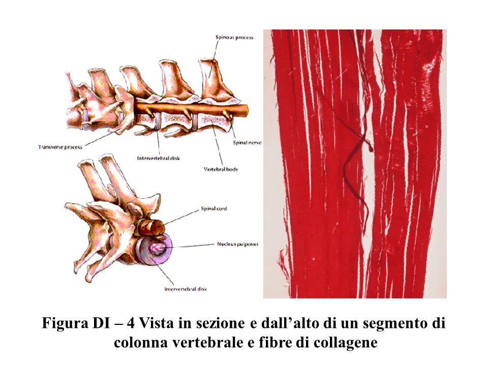 Figura DI – 4 Vista in sezione e dallalto di un segmento di colonna vertebrale e fibre di collagene