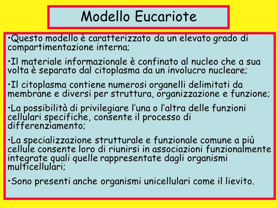 Modello Eucariote Questo modello è caratterizzato da un elevato grado di compartimentazione interna; Il materiale informazionale è confinato al nucleo