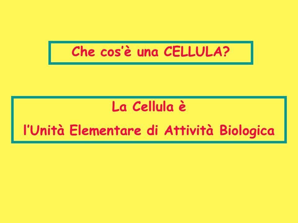 Modello Eucariote Questo modello è caratterizzato da un elevato grado di compartimentazione interna; Il materiale informazionale è confinato al nucleo che a sua volta è separato dal citoplasma da un involucro nucleare; Il citoplasma contiene numerosi organelli delimitati da membrane e diversi per struttura, organizzazione e funzione; La possibilità di privilegiare luna o laltra delle funzioni cellulari specifiche, consente il processo di differenziamento; La specializzazione strutturale e funzionale comune a più cellule consente loro di riunirsi in associazioni funzionalmente integrate quali quelle rappresentate dagli organismi multicellulari; Sono presenti anche organismi unicellulari come il lievito.