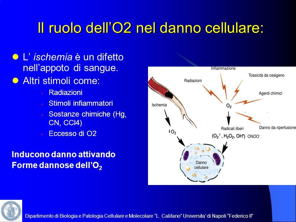 Dipartimento di Biologia e Patologia Cellulare e Molecolare L. Califano Universita di Napoli Federico II Il ruolo dellO2 nel danno cellulare: L ischem
