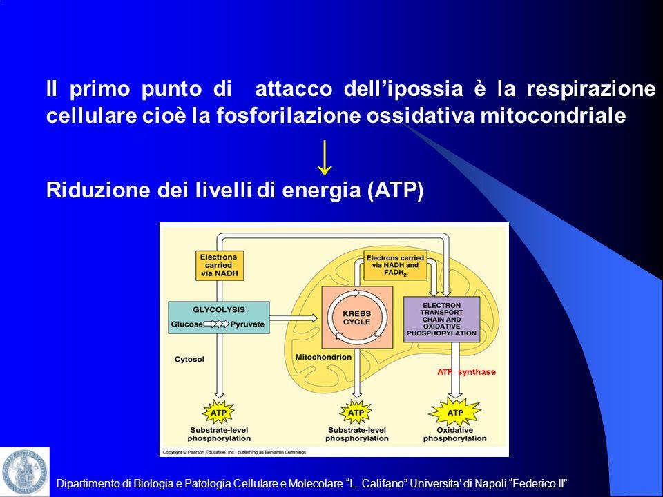 Dipartimento di Biologia e Patologia Cellulare e Molecolare L. Califano Universita di Napoli Federico II Il primo punto di attacco dellipossia è la re
