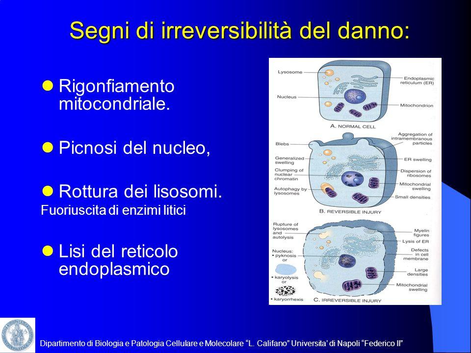 Dipartimento di Biologia e Patologia Cellulare e Molecolare L. Califano Universita di Napoli Federico II Segni di irreversibilità del danno: Rigonfiam