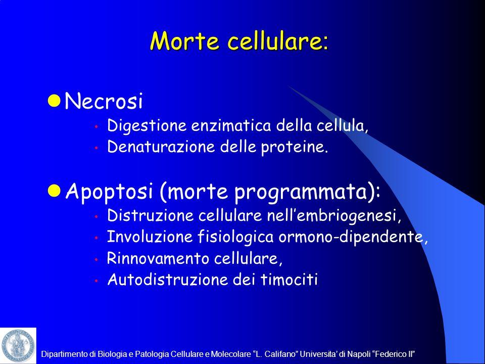 Dipartimento di Biologia e Patologia Cellulare e Molecolare L. Califano Universita di Napoli Federico II Morte cellulare : Necrosi Digestione enzimati