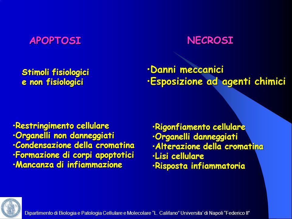 Dipartimento di Biologia e Patologia Cellulare e Molecolare L. Califano Universita di Napoli Federico II Restringimento cellulareRestringimento cellul