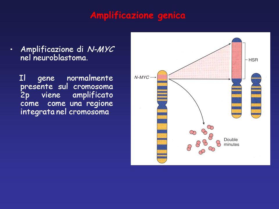 Amplificazione genica Amplificazione di N-MYC nel neuroblastoma. Il gene normalmente presente sul cromosoma 2p viene amplificato come come una regione