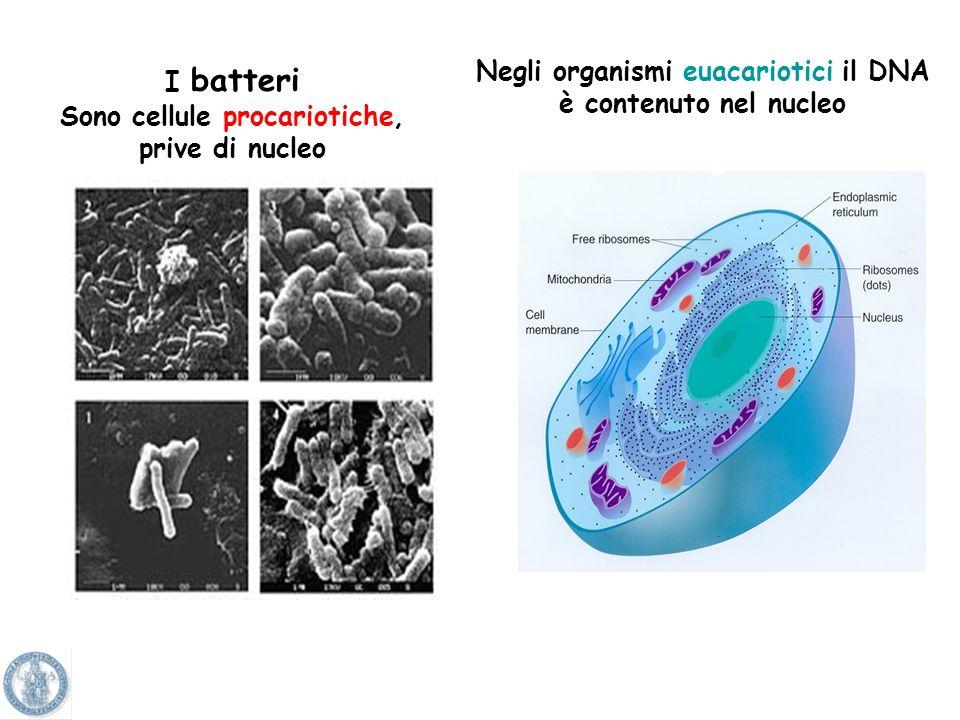 Il DNA o acido deossiribonucleico è contenuto nel nucleo della cellula. Il DNA associato a proteine Costituisce i cromosomi. Il DNA si duplica in mani