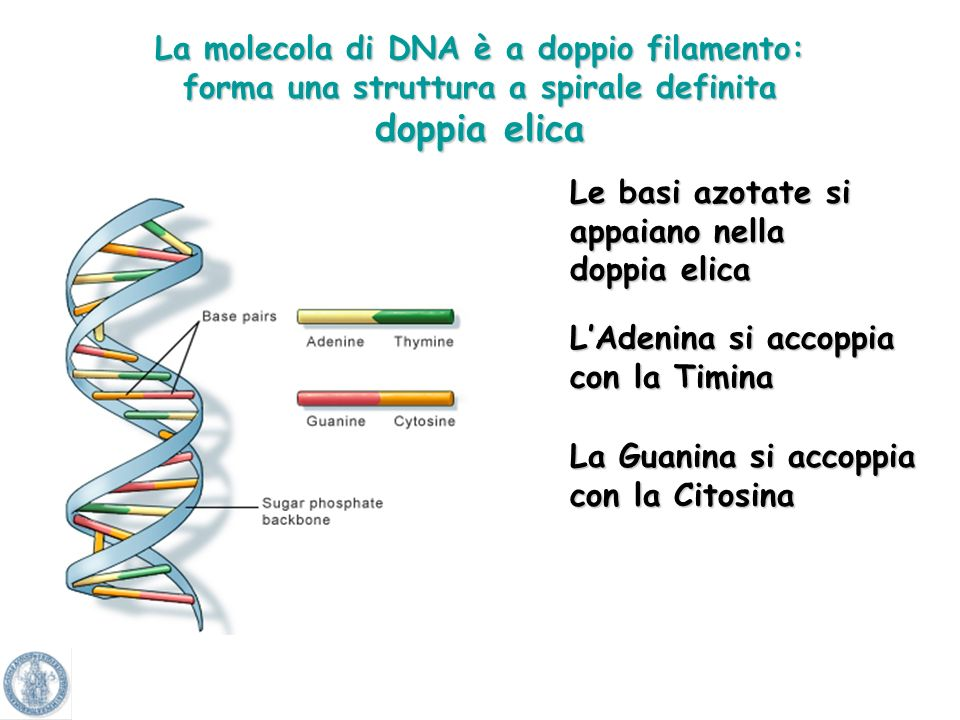 Lo zucchero che compone DNA è il desossiribosio Lo zucchero che compone RNA è il ribosioAdeninaCitosinaGuaninaTimina GuaninaCitosina UracileAdenina Le