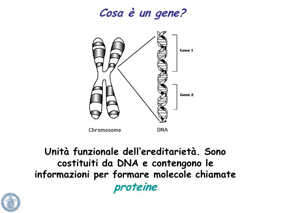cellule in INTERFASE (fase tra una divisione e laltra) Trattamento delle cellule con una sostanza fluorescente che viene incorporata specificamente ne