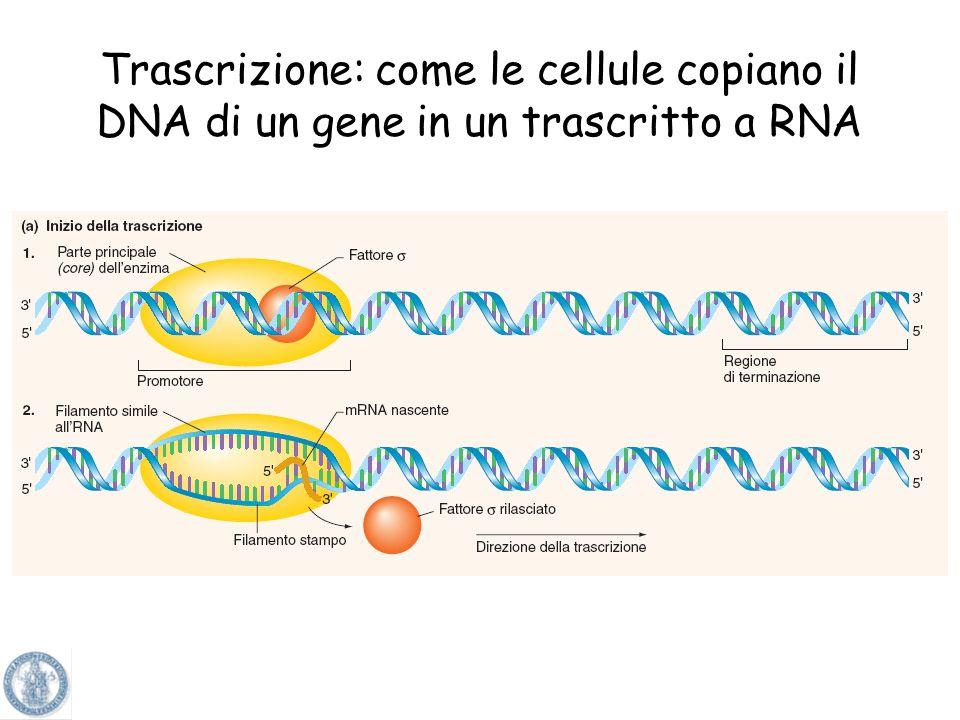 RNA: acido ribonucleico GuaninaCitosina UracileAdenina La molecola di RNA è a singolo filamento