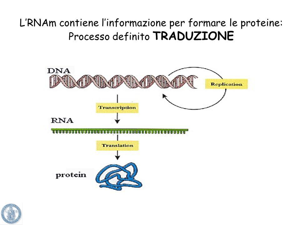 Un filamento di DNA funge da filamento stampo per produrre lRNA messaggero