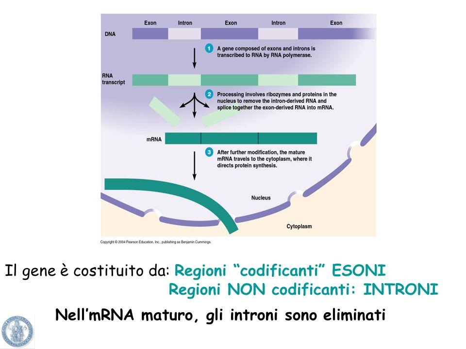 Non tutta linformazione contenuta nel DNA si tramuta in gene Sequenza coding (codificante) = quella che dà luogo a proteina= ESONE Sequenza NON coding