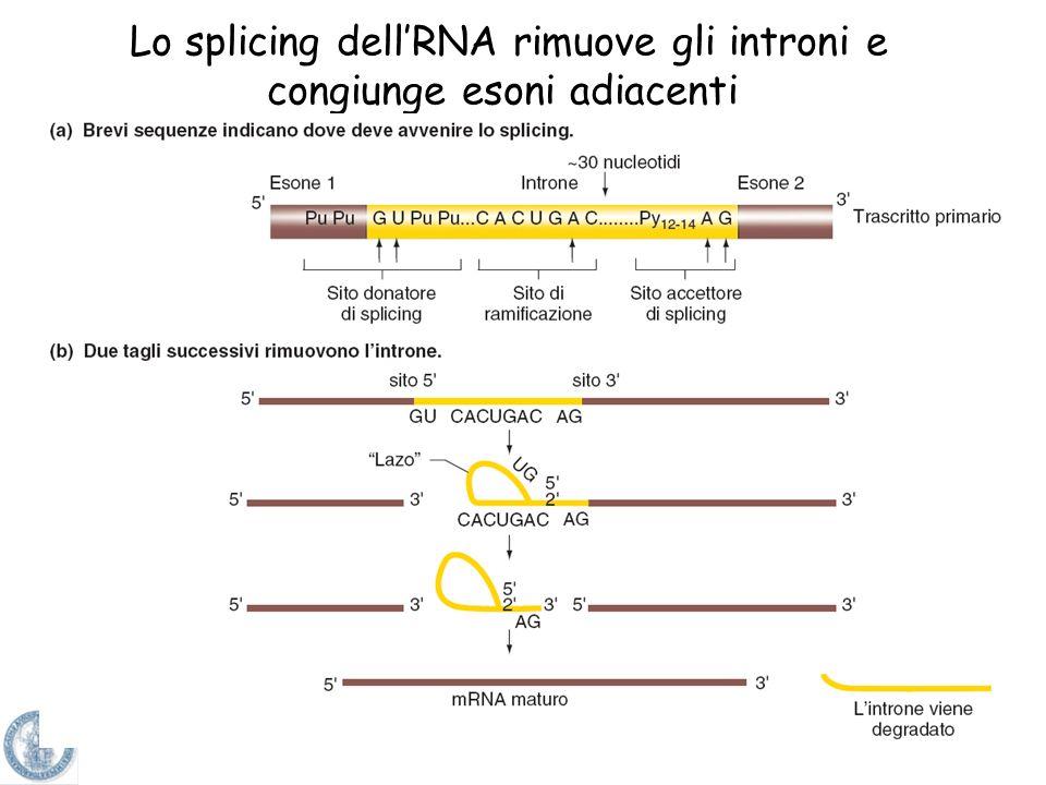 Processo di rimozione degli introni dagli esoni nella molecola di mRNA matura che deve tradursi in proteina SPLICING dellRNA