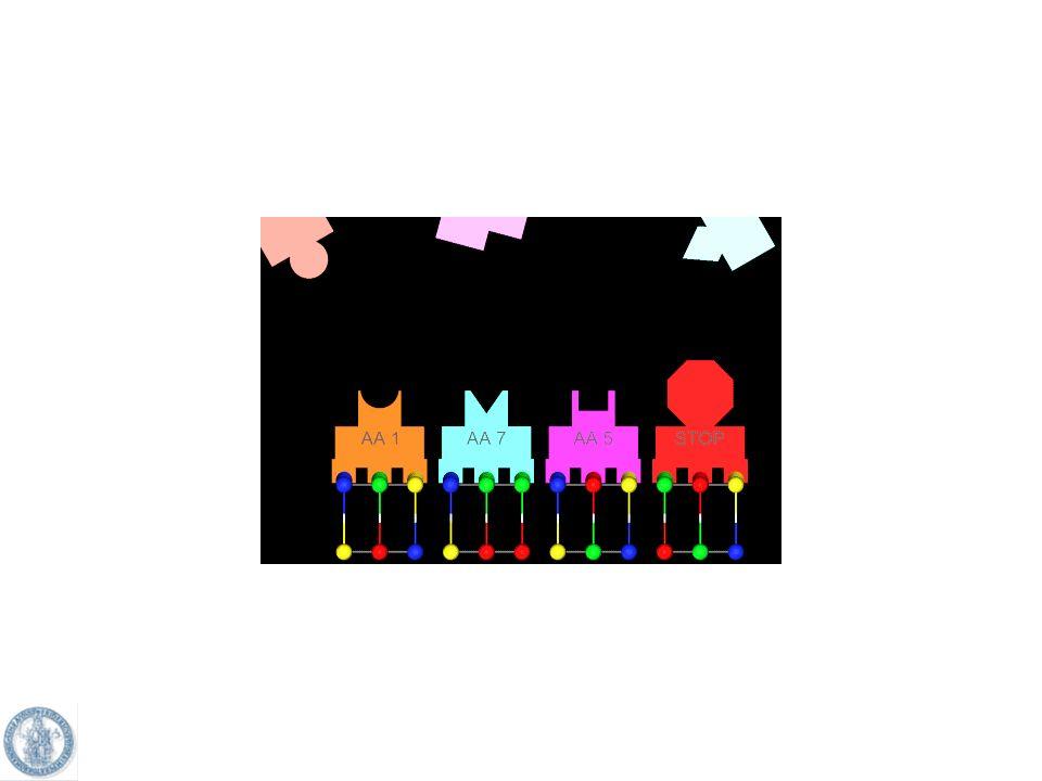 Fasi della traduzione 1- legame del ribosoma allRNAm 2- riconoscimento del segnale di inizio AUG 3- legame del tRNA ai ribosomi (il primo aminoacido è