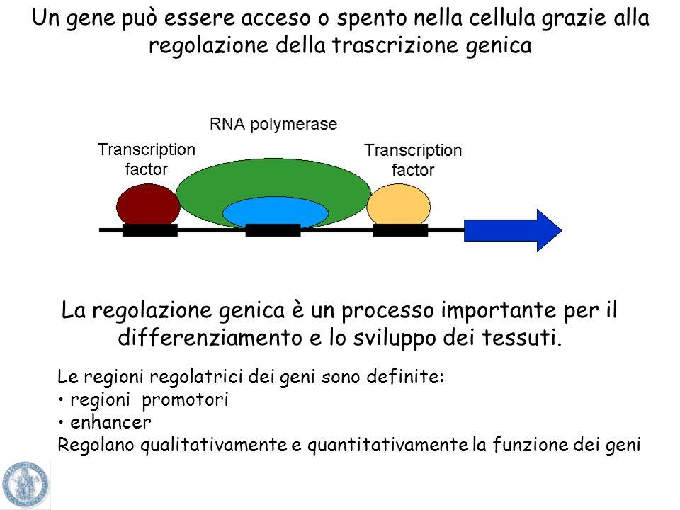 La specificità tissutale è determinata in parte dal profilo dei fattori di trascrizione presenti in un tipo cellulare