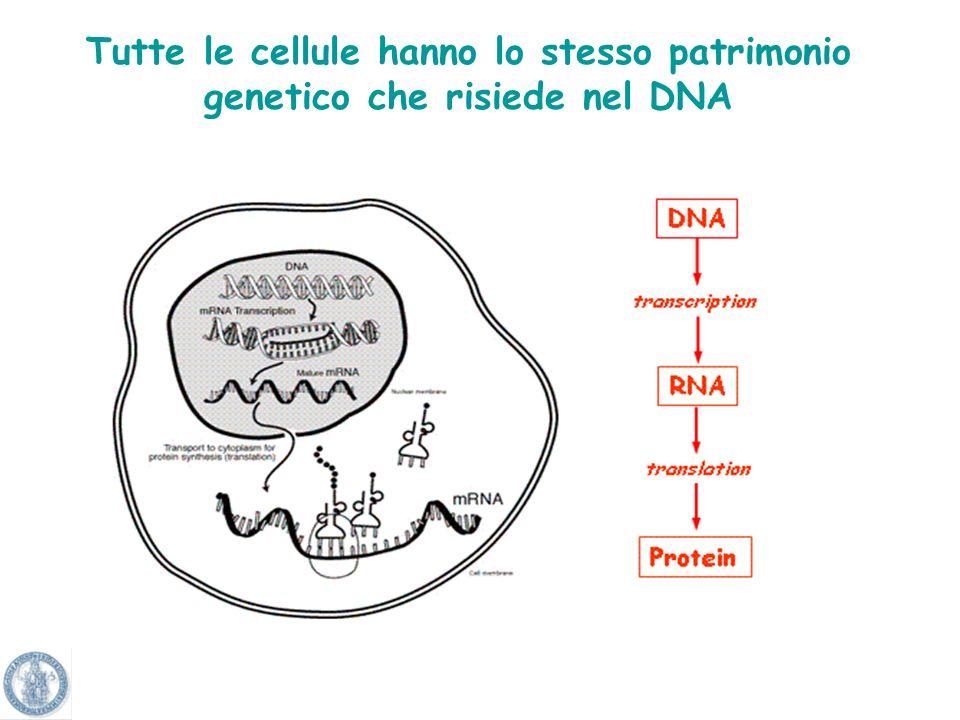 Tutte le cellule hanno lo stesso patrimonio genetico che risiede nel DNA