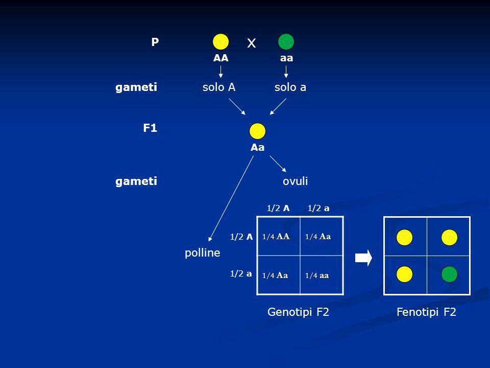 x P AA F1 Genotipi F2 aaAa gametisolo Asolo a gametiovuli polline 1/4 AA 1/4 Aa 1/4 aa 1/2 A 1/2 a 1/2 A1/2 a Fenotipi F2