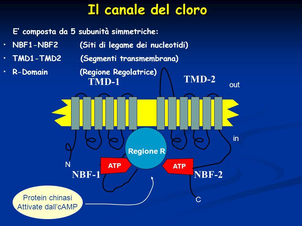 Il canale del cloro Il canale del cloro Protein chinasi Attivate dallcAMP N C Regione R out in ATP TMD-1 TMD-2 NBF-2NBF-1 E composta da 5 subunità sim
