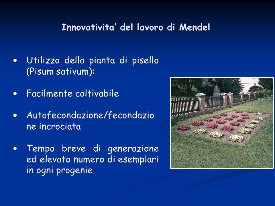 Innovativita del lavoro di Mendel Utilizzo della pianta di pisello (Pisum sativum): Facilmente coltivabile Autofecondazione/fecondazio ne incrociata T