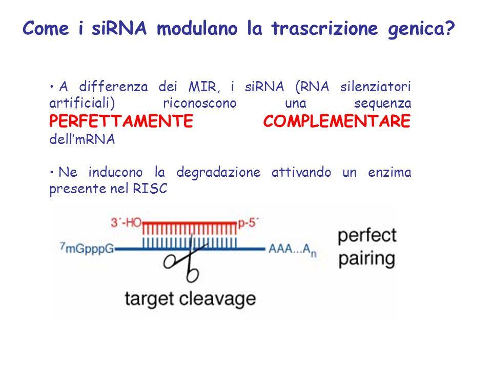 A differenza dei MIR, i siRNA (RNA silenziatori artificiali) riconoscono una sequenza PERFETTAMENTE COMPLEMENTARE dellmRNA Ne inducono la degradazione