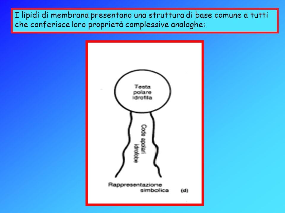 Funzioni delle Proteine nella Membrana Plasmatica Esse possono essere: Vettori: Pompa di Na+ (Na+/K+) Connettori: Integrine (actina e matrice cellulare) Recettori: PDGF (lega il PDGF) Enzimi: Adenilato Ciclasi (AMP ciclico)