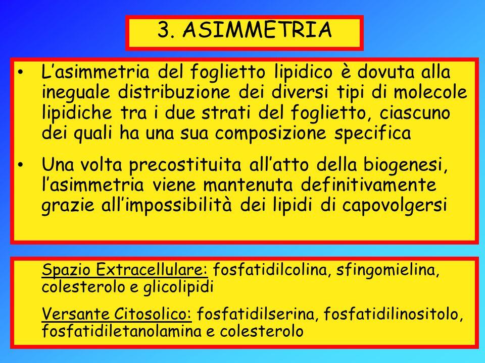 3. ASIMMETRIA Lasimmetria del foglietto lipidico è dovuta alla ineguale distribuzione dei diversi tipi di molecole lipidiche tra i due strati del fogl