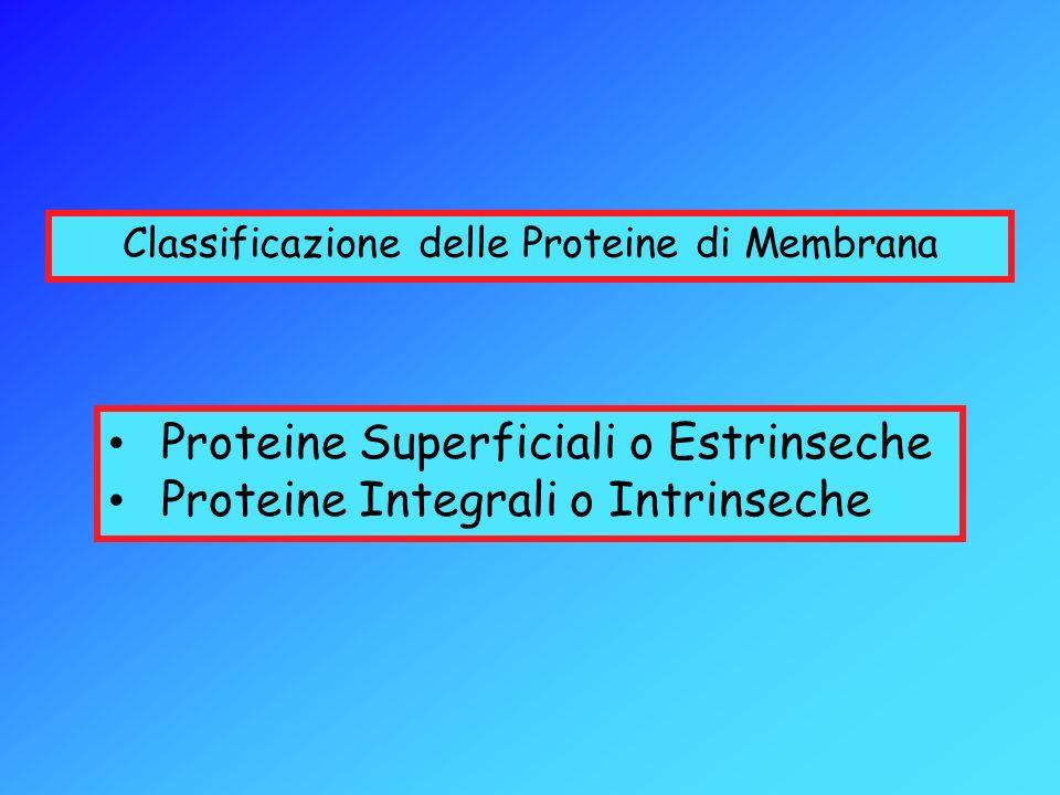 Classificazione delle Proteine di Membrana Proteine Superficiali o Estrinseche Proteine Integrali o Intrinseche