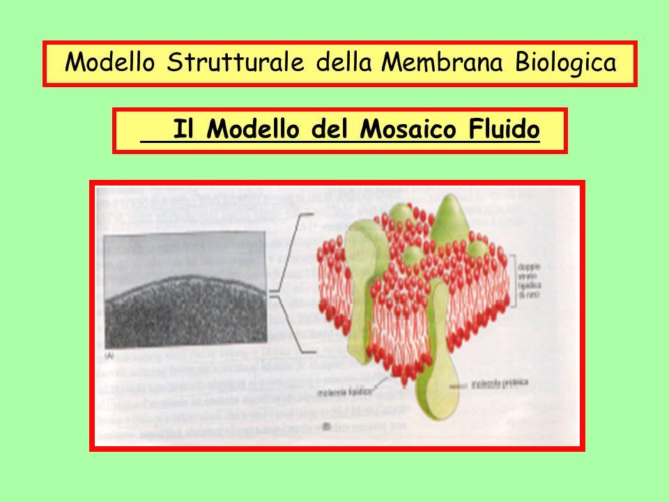 Modello Strutturale della Membrana Biologica Il Modello del Mosaico Fluido