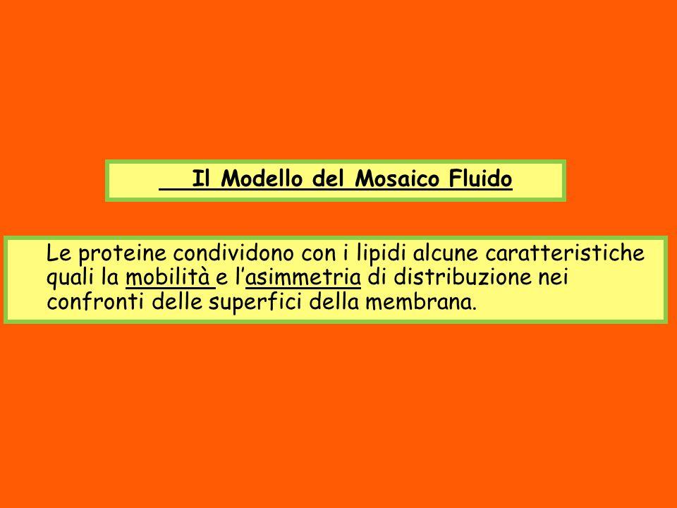 Il Modello del Mosaico Fluido Le proteine condividono con i lipidi alcune caratteristiche quali la mobilità e lasimmetria di distribuzione nei confron