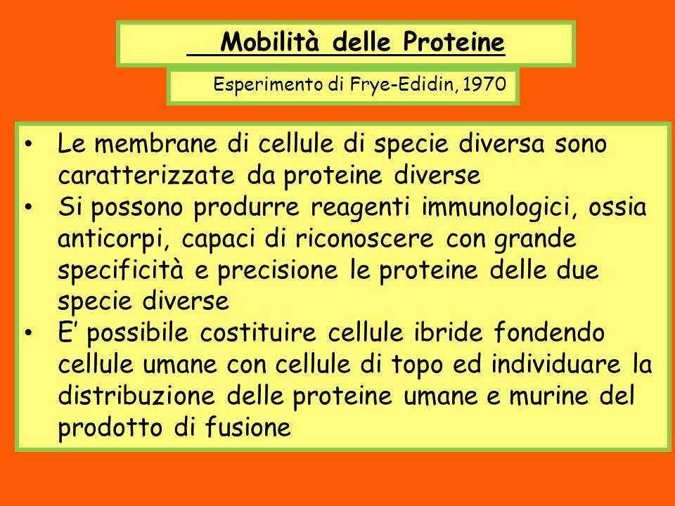 Mobilità delle Proteine Esperimento di Frye-Edidin, 1970 Le membrane di cellule di specie diversa sono caratterizzate da proteine diverse Si possono p