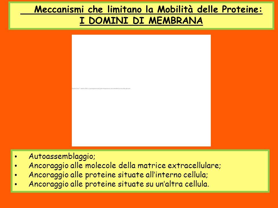 Meccanismi che limitano la Mobilità delle Proteine: I DOMINI DI MEMBRANA Autoassemblaggio; Ancoraggio alle molecole della matrice extracellulare; Anco