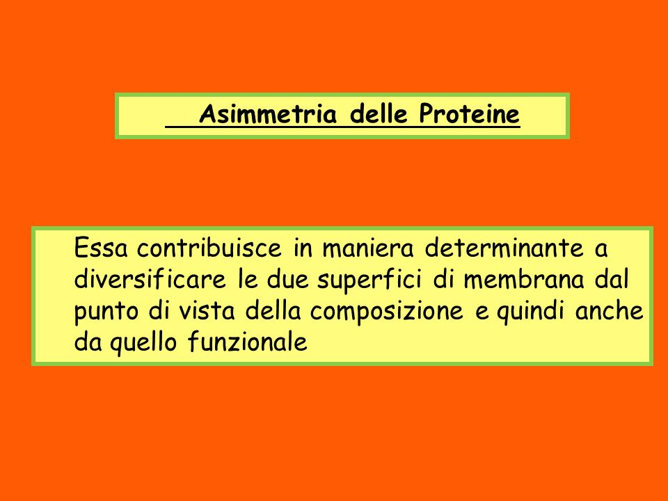 Asimmetria delle Proteine Essa contribuisce in maniera determinante a diversificare le due superfici di membrana dal punto di vista della composizione