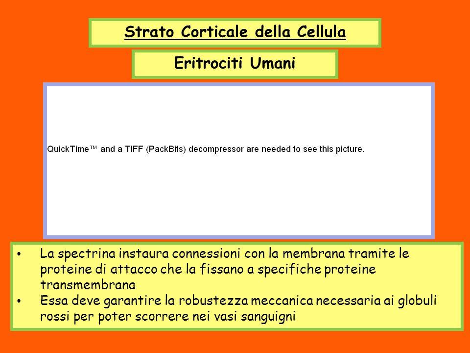 Strato Corticale della Cellula Eritrociti Umani La spectrina instaura connessioni con la membrana tramite le proteine di attacco che la fissano a spec