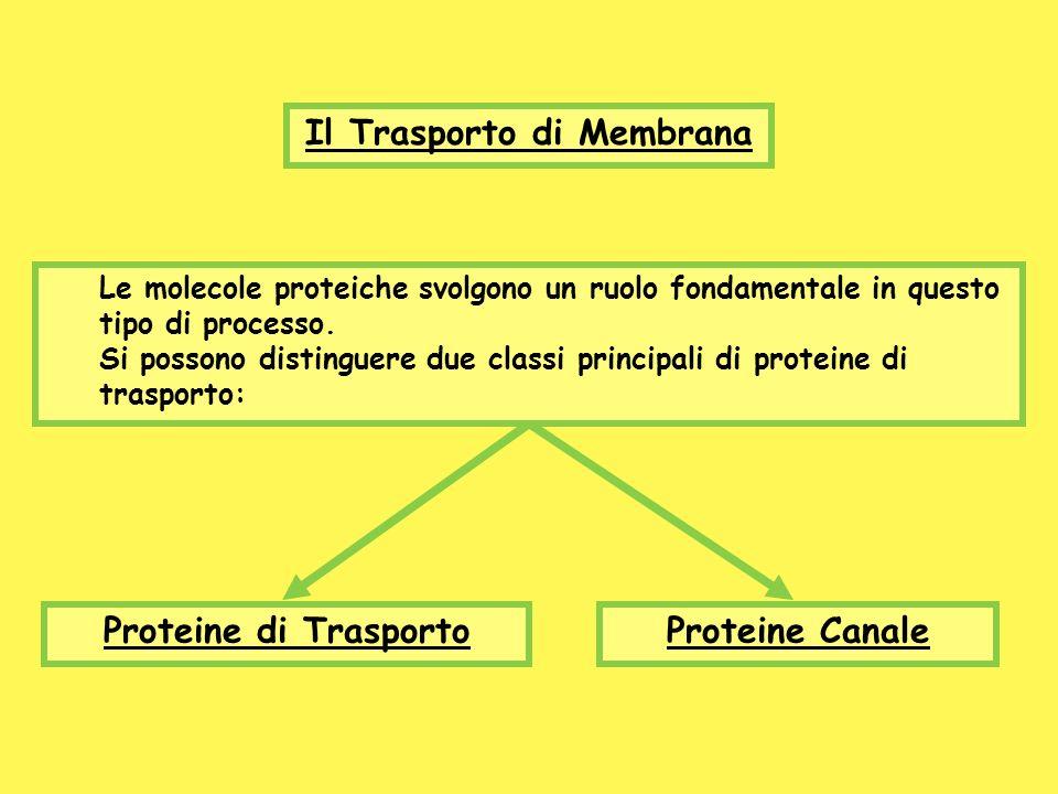 Il Trasporto di Membrana Le molecole proteiche svolgono un ruolo fondamentale in questo tipo di processo. Si possono distinguere due classi principali