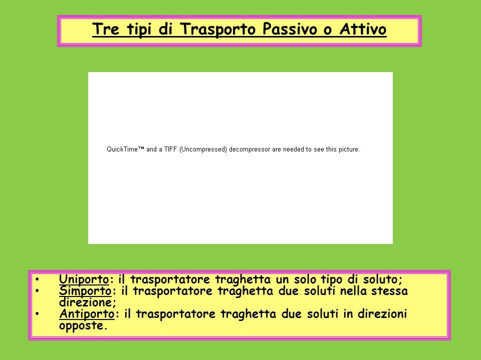Tre tipi di Trasporto Passivo o Attivo Uniporto: il trasportatore traghetta un solo tipo di soluto; Simporto: il trasportatore traghetta due soluti ne