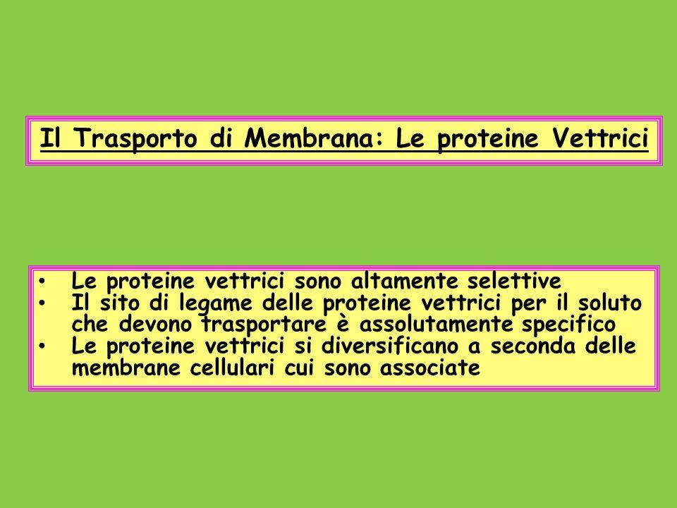 Il Trasporto di Membrana: Le proteine Vettrici Le proteine vettrici sono altamente selettive Il sito di legame delle proteine vettrici per il soluto c