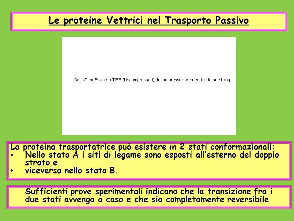 Le proteine Vettrici nel Trasporto Passivo La proteina trasportatrice può esistere in 2 stati conformazionali: Nello stato A i siti di legame sono esp