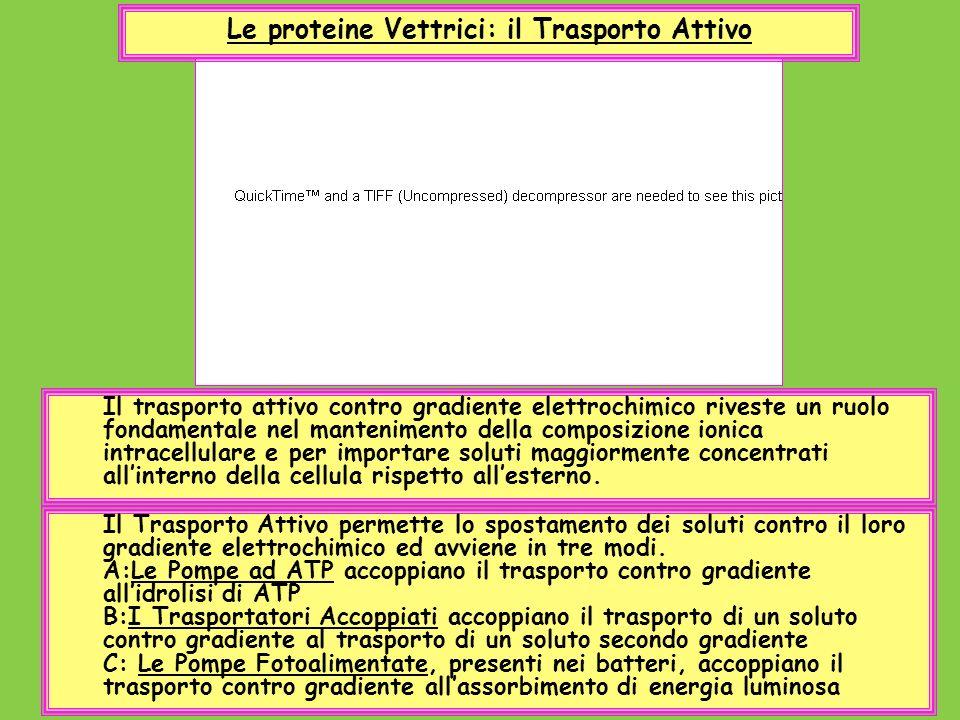 Le proteine Vettrici: il Trasporto Attivo Il Trasporto Attivo permette lo spostamento dei soluti contro il loro gradiente elettrochimico ed avviene in
