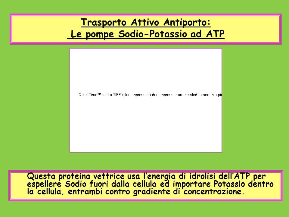 Trasporto Attivo Antiporto: Le pompe Sodio-Potassio ad ATP Questa proteina vettrice usa lenergia di idrolisi dellATP per espellere Sodio fuori dalla c