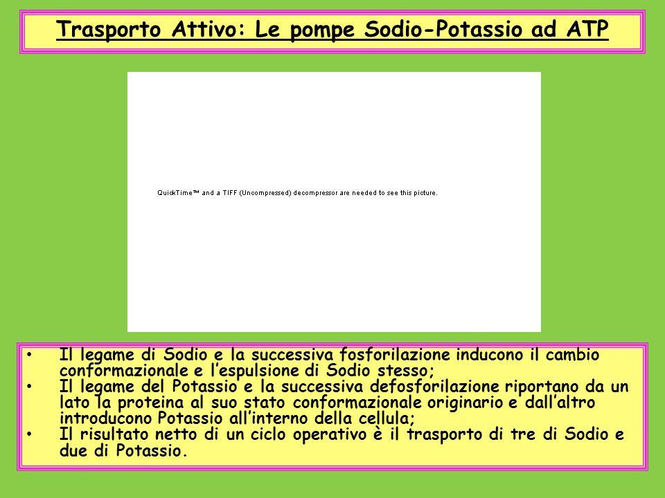 Trasporto Attivo: Le pompe Sodio-Potassio ad ATP Il legame di Sodio e la successiva fosforilazione inducono il cambio conformazionale e lespulsione di