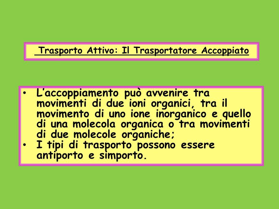 Trasporto Attivo: Il Trasportatore Accoppiato Laccoppiamento può avvenire tra movimenti di due ioni organici, tra il movimento di uno ione inorganico