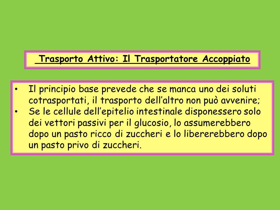 Trasporto Attivo: Il Trasportatore Accoppiato Il principio base prevede che se manca uno dei soluti cotrasportati, il trasporto dellaltro non può avve