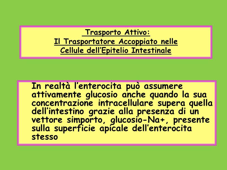 Trasporto Attivo: Il Trasportatore Accoppiato nelle Cellule dellEpitelio Intestinale In realtà lenterocita può assumere attivamente glucosio anche qua