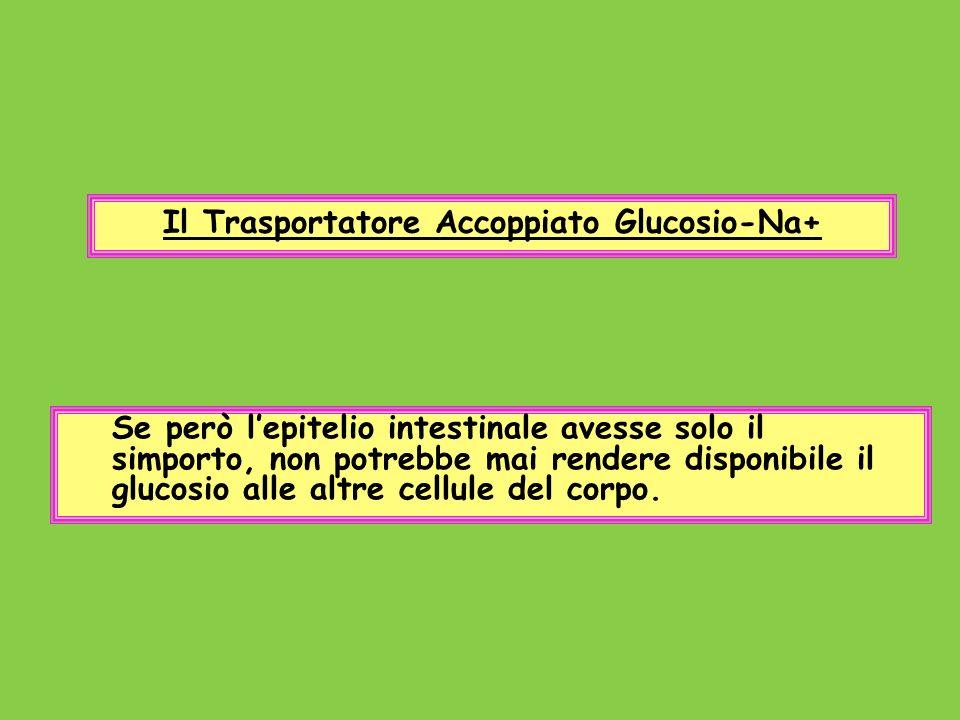 Il Trasportatore Accoppiato Glucosio-Na+ Se però lepitelio intestinale avesse solo il simporto, non potrebbe mai rendere disponibile il glucosio alle