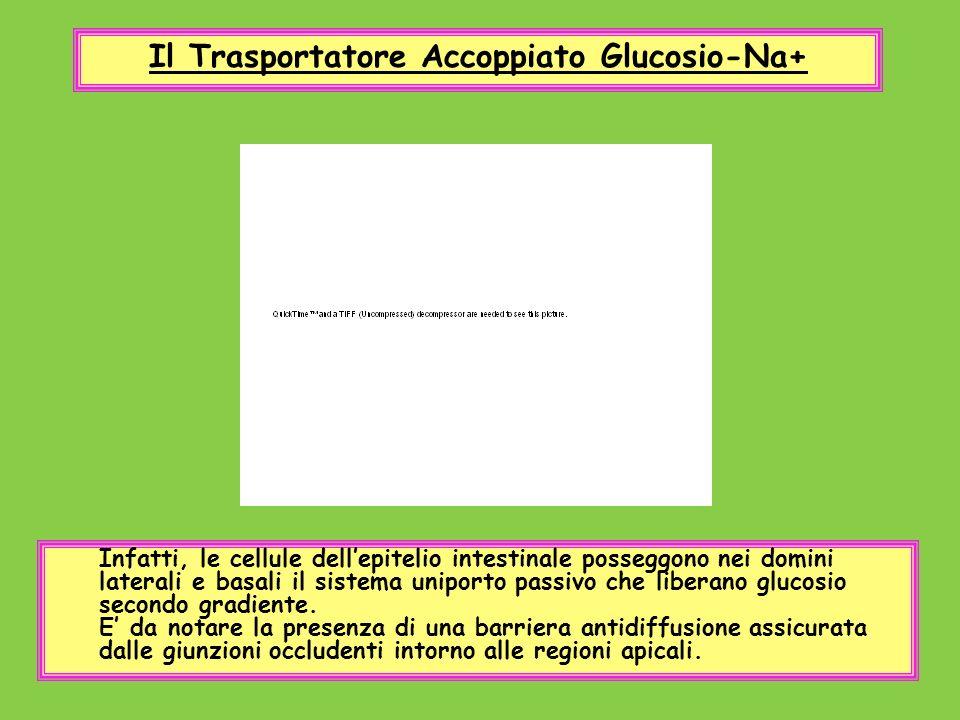 Il Trasportatore Accoppiato Glucosio-Na+ Infatti, le cellule dellepitelio intestinale posseggono nei domini laterali e basali il sistema uniporto pass