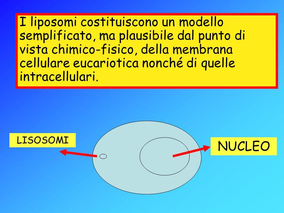 I liposomi costituiscono un modello semplificato, ma plausibile dal punto di vista chimico-fisico, della membrana cellulare eucariotica nonché di quel