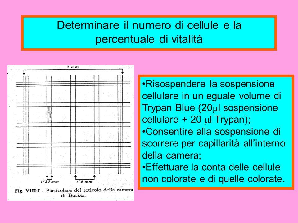 Determinare il numero di cellule e la percentuale di vitalità: NOTE Il Trypan Blue è un colorante che è in grado di colorare in blu le cellule necrotiche; La percentuale di vitalità è calcolata mediante la seguente formula: N° di Cell.