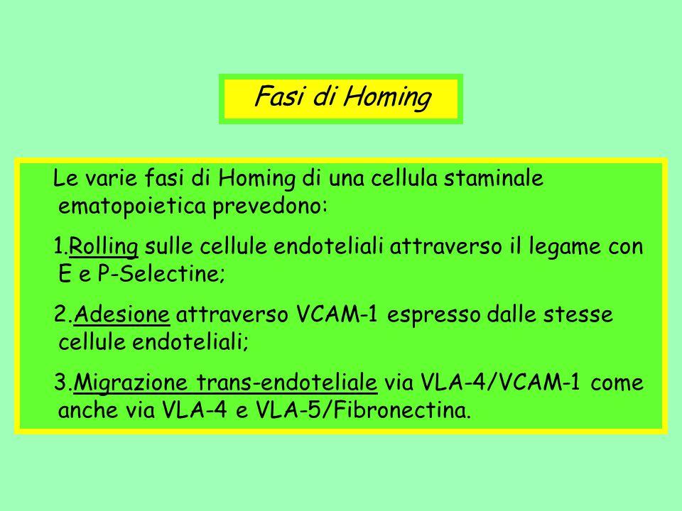 Le varie fasi di Homing di una cellula staminale ematopoietica prevedono: 1.Rolling sulle cellule endoteliali attraverso il legame con E e P-Selectine