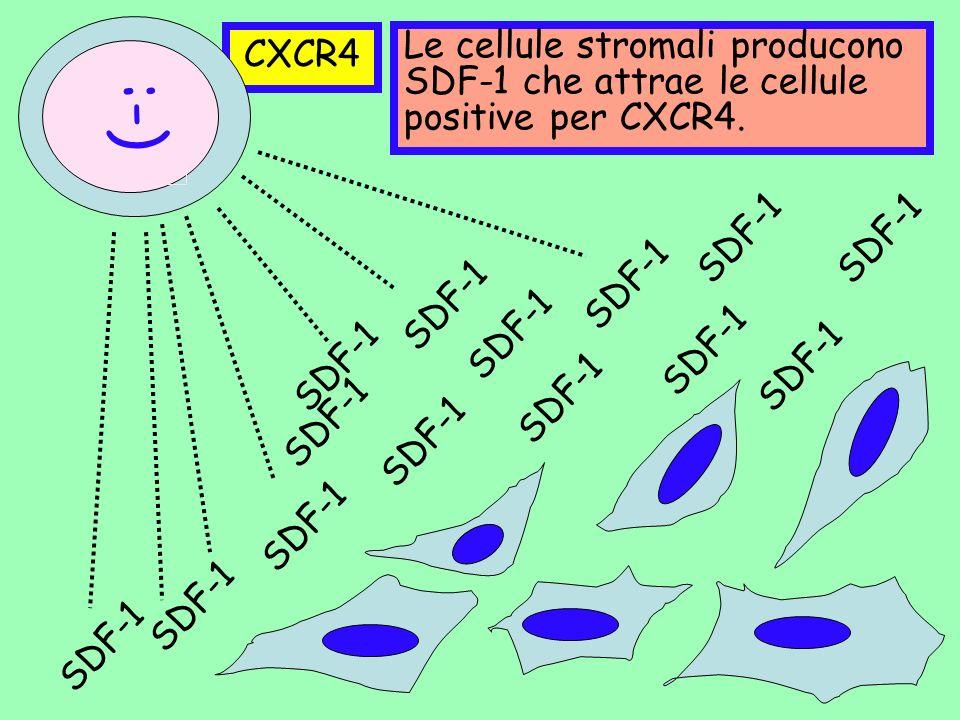 CXCR4 SDF-1 :-) Le cellule stromali producono SDF-1 che attrae le cellule positive per CXCR4. SDF-1