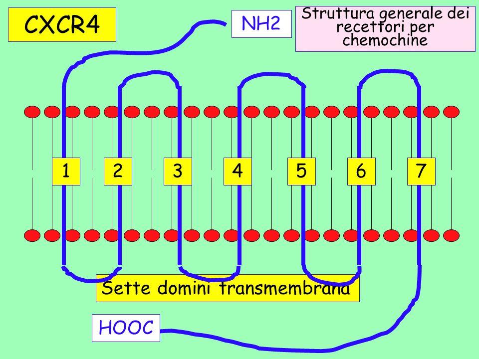 Sette domini transmembrana NH2 HOOC Struttura generale dei recettori per chemochine CXCR4 1234567