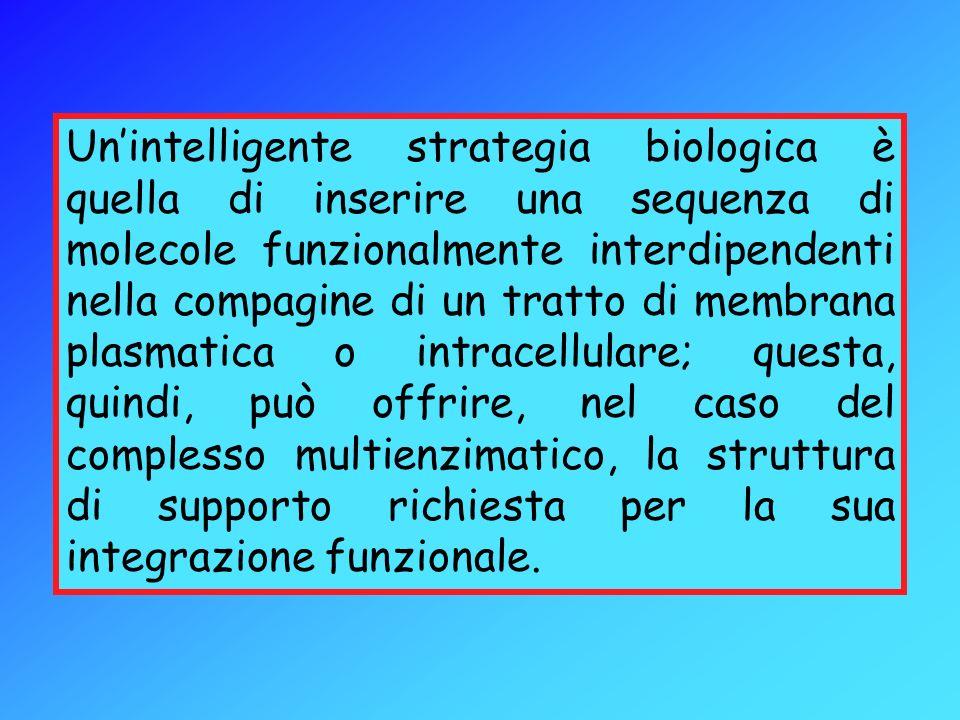 Unintelligente strategia biologica è quella di inserire una sequenza di molecole funzionalmente interdipendenti nella compagine di un tratto di membra